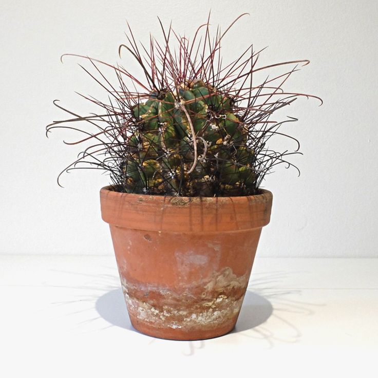 Hamatocactus via RECYCLED PLANTS. Click on the image to see more!