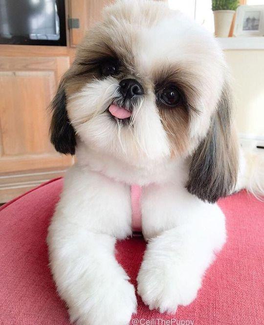 1000 ideas about teacup dogs on pinterest teacup pomeranian