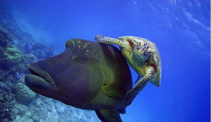 turtle riding fish