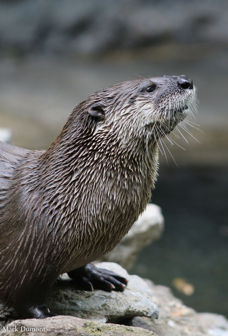 128 Best Images About Carved Beaver Otter Etc On