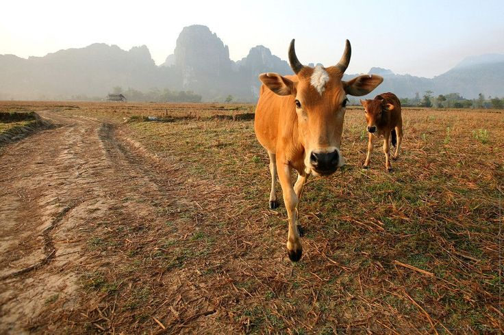 click here http://earth66.com/agriculture/dairy-cow-calf-laos/
