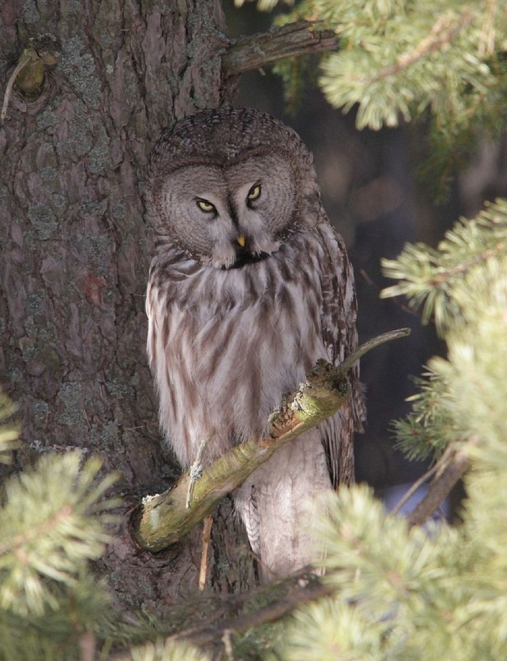 What is the largest owl in North America? Do you have any idea? http://abirdsdelight.com/largest-owl-north-america #owls #birding
