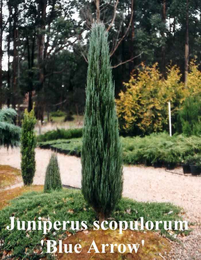 32 Best Columnar Trees For Tight Spaces Images On
