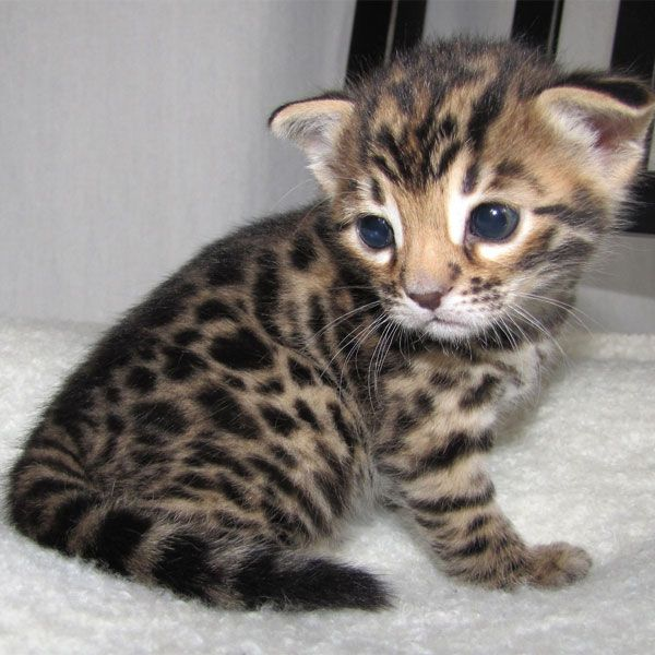 A Bounty of Bengal Kittens - Catster