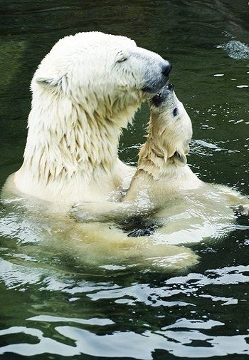 Bath time for Polar bears. Mama bear is enjoying  Baby bear's kisses.  Go to www.YourTravelVideos.com or just click on photo for home videos and much more on sites like this.