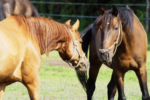 Knowing how to safely introduce new horses – and when to step in if things aren't going as planned – can make the transition easier and safer for all of the horses.