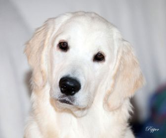 Golden Retriever Puppies,White,Cream,AKC CERTIFIED,NJ