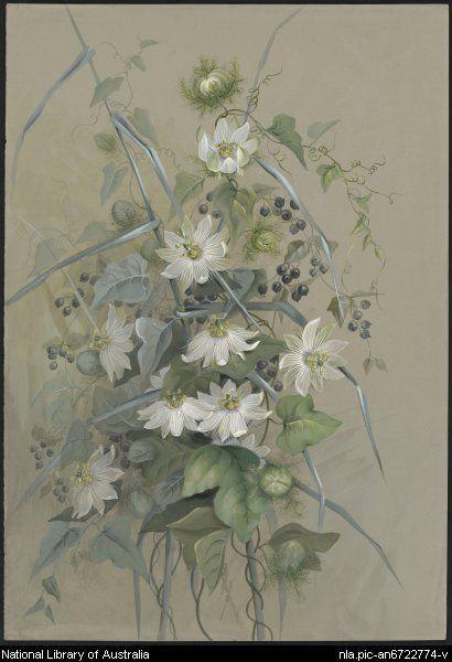 Rowan, Ellis, 1848 à 1922.  Passiflora foetida L., famille Passifloraceae, Queensland [image]