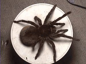 """The Is A REAL Spider, The Size Of A 16"""" inner Plate. Named Promptly, The Goliath.... SCARY."""