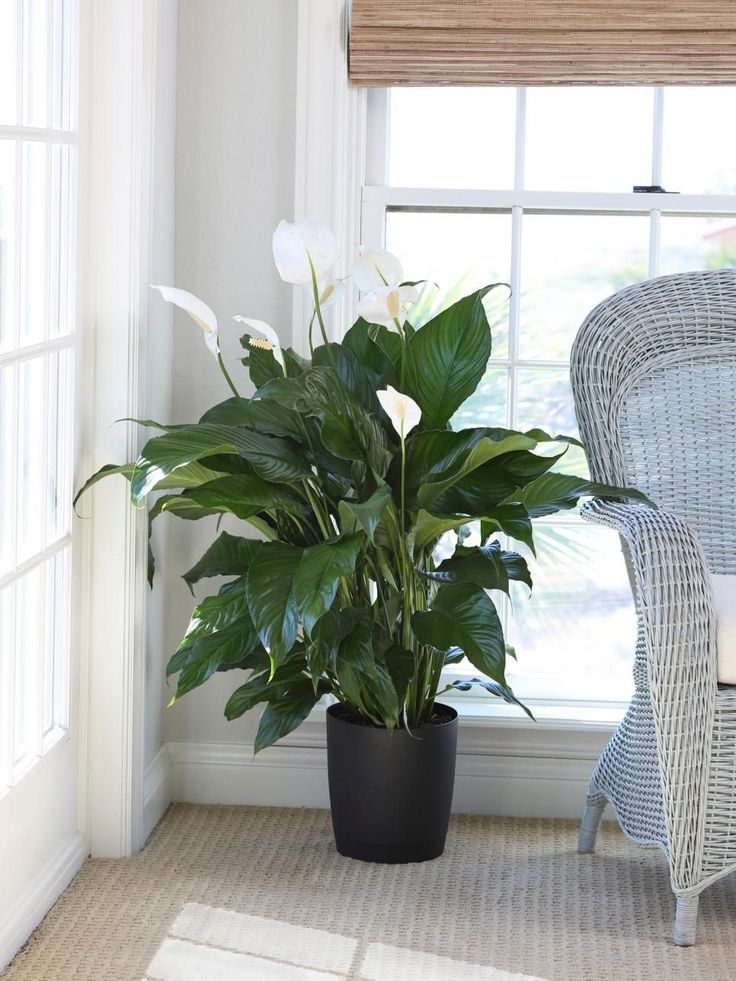 Peace lily loves shade and is perfect to grow indoors