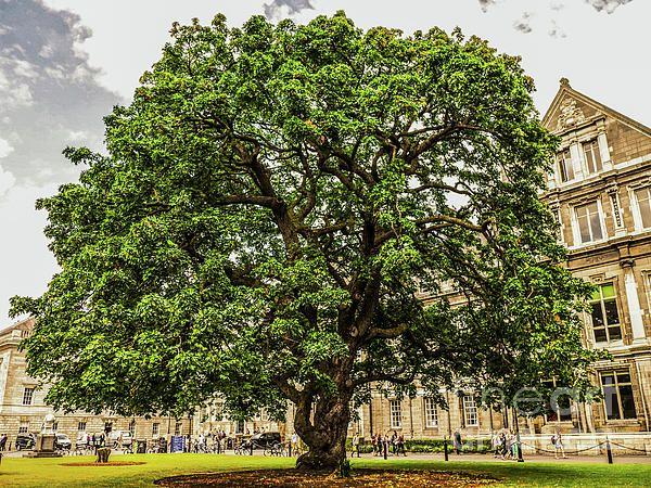Big Leaf Maple Trinity College, Dublin, Ireland. Visit my photo gallery and get a beautiful Fine Art Print, Canvas Print, Metal or Acrylic Print OR Home Decor products. 30 days money back guarantee on every purchase so don't hesitate to add some Irish Magic in your home or office.
