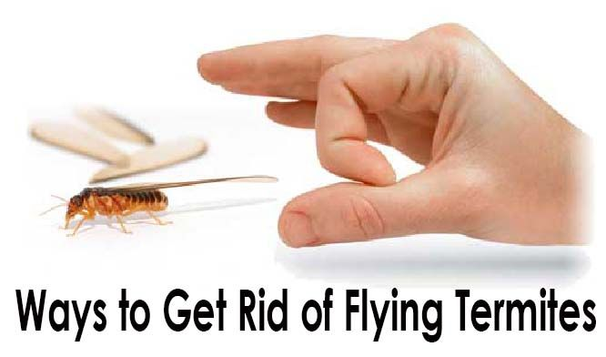 get rid of flying termites fast