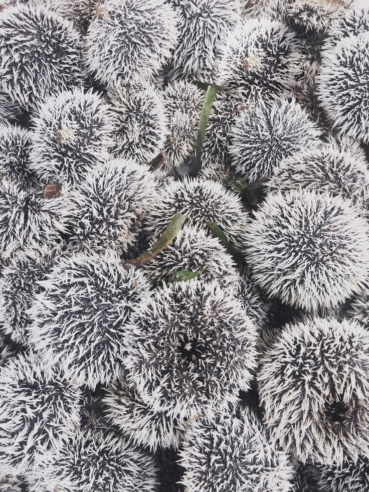 #Urchins #Queen #food
