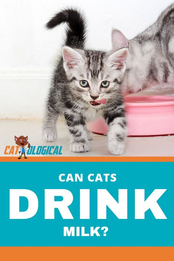 Is Milk Bad For Cats Are They Lactose Intolerant Is It Good For Kittens Cat Drinking Cats Cat Parenting