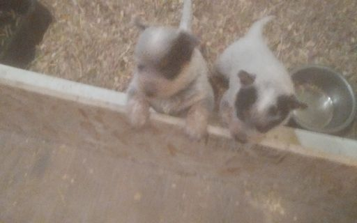 Litter of 2 Australian Cattle Dog puppies for sale in MELBA, ID. ADN-53849 on PuppyFinder.com Gender: Female. Age: 6 Weeks Old