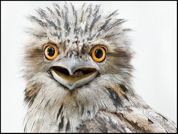 Rosie, Tawny Frogmouth  - bird photography print by nature photographer and wildlife carer Angela Roberston-Buchanan. #lifebetterwithart