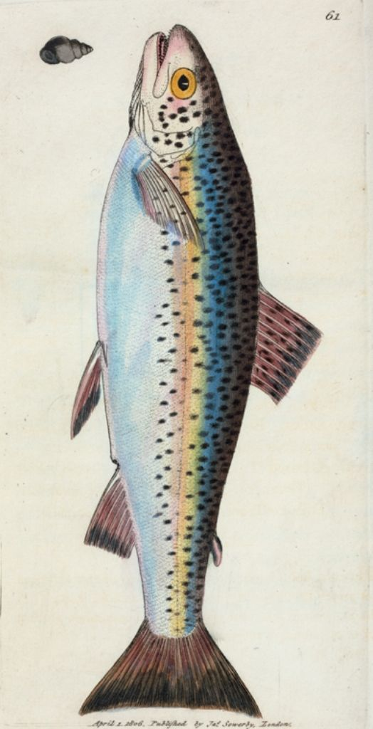 Salmo Fario; var. the Gillaroo Trout (Class 4, Pisces; Order 4, Abdominal) by James Sowerby, 1757–1822. Hand-coloured engraving