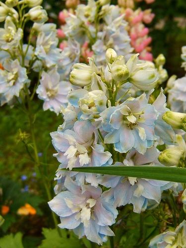 "delphinium   ""gossamer"" ?,. or ""magic fountain sky blue white bee"""