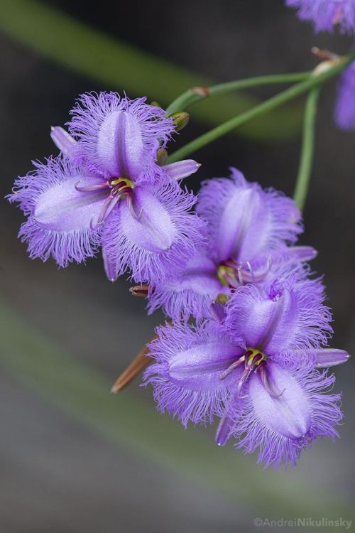 ˚Fringe Lilly, Asparagaceae Thysanotus sp.