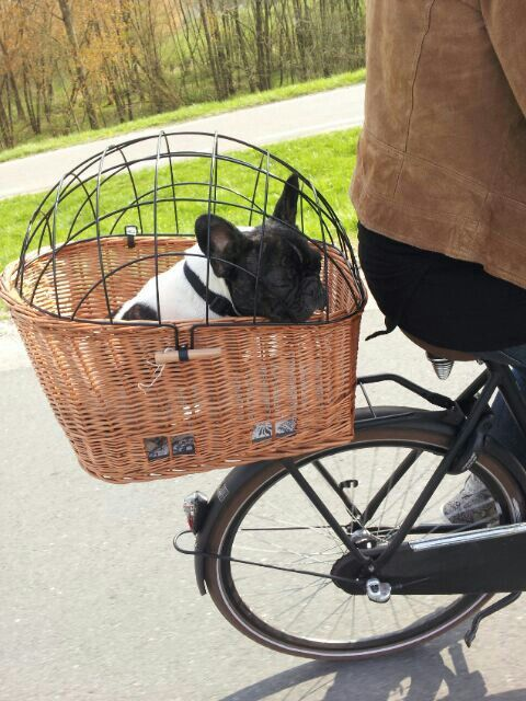 Getting bike and a behind-basket to go with the front basket for all my little dogs :)