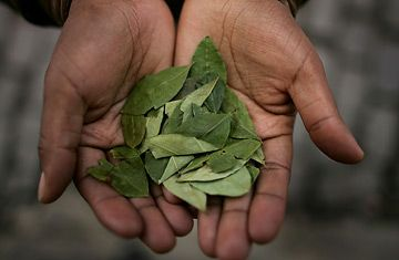Chewing Coca Leaves are Legal in Bolivia