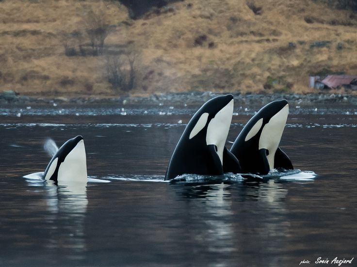 www.pegasebuzz.com   Orca, orque, killer whale, black fish in Norway.