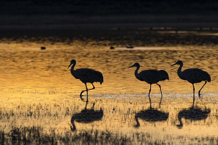 "Glatz Nature Photography posted a photo:  Golden evening light created a beautiful reflection on a pond. A group of Sandhill Cranes sauntered right into the frame at the perfect moment. Peaceful and serene scene was a real reward for waiting for the ""good light."" Bosque del Apache National Wildlife Refuge, New Mexico."