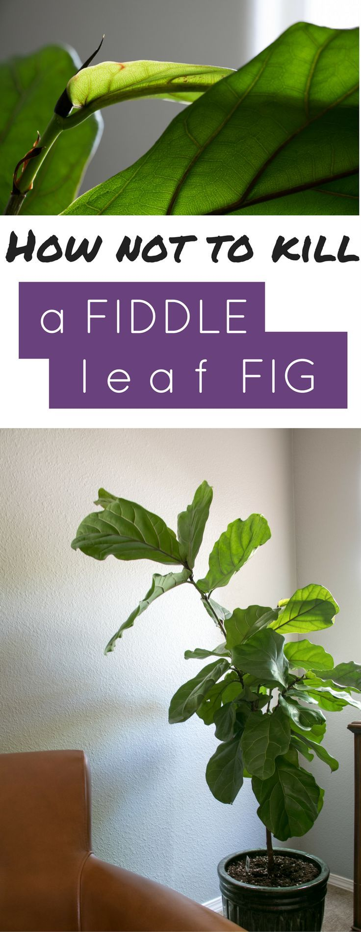 Grow a fiddle leaf fig tree with these simple steps.