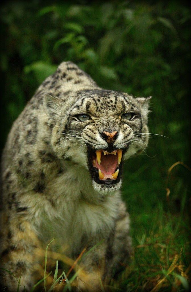 Snow Leopard (14)