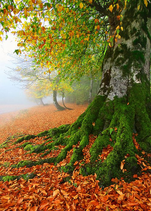 """""""ROOTS & LEAVES"""" by Seyed Mohammad Shamsi: Trees Trunks, Fall Leaves, Autumn Leaves, Trees Roots, Fall Autumn, Fall Trees, Fall Holidays, Mothers Natural"""
