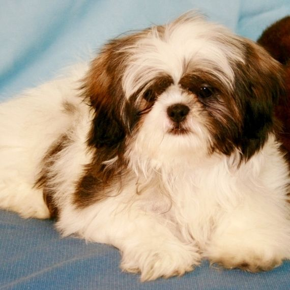 Free Pictures Of Shih Tzu Dogs