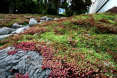 Bunndekke sedum staude grønne tak