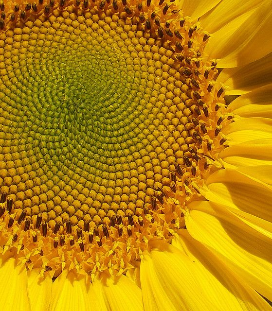 The Fibonacci Sequence Spiral - seen often in nature.  Witness the Sunflower.