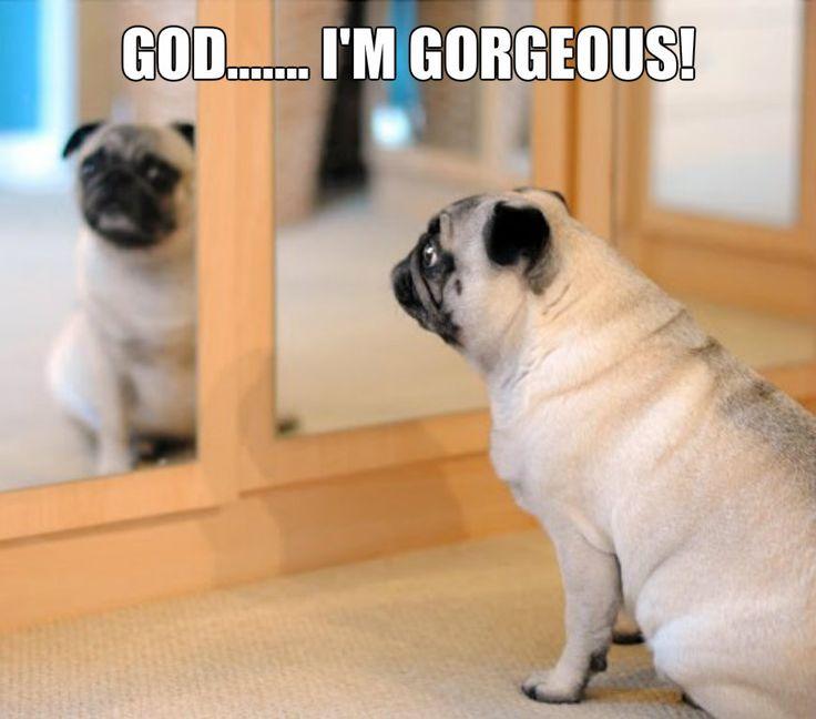 155 Best Images About Pug Memes On Pinterest