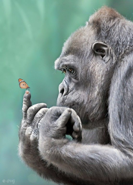 Gorilla with butterfly on its finger - Click image to find more Science & Nature Pinterest pins: Gentle Giant, Animals, Nature, Butterflies, Creature, Beautiful, Gorilla, Photo, Monkey