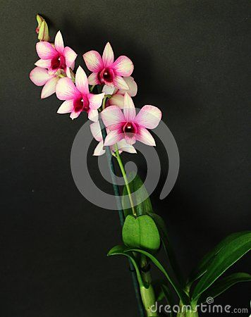 Beautiful orchid with black background
