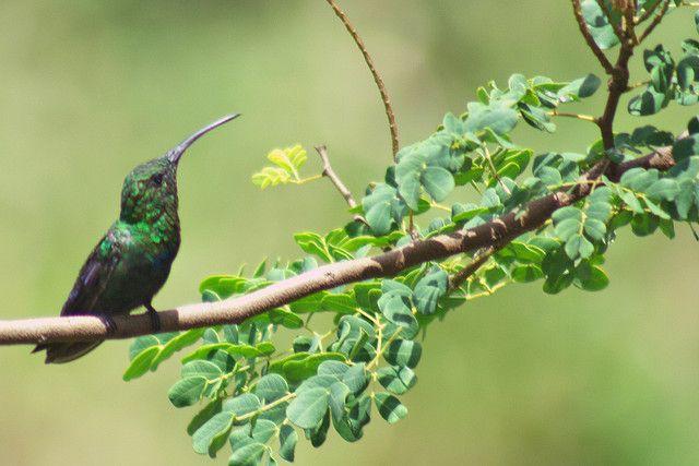 "Colibrí (Hummingbird) by Levania, via Flickr -""Anthracothorax viridis"". Zumbador Esmeralda, Hummingbird."
