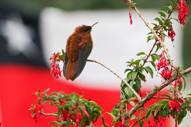 Picaflor de Juan Fernández   Juan Fernandez Firecrown   Sephanoides fernandensis *male #Endemic, one of the world´s most threatened birds #RobinsonCrusoeIsland An Island of Castaway Natural Treasures © Enrique Couve, Far South Expeditions
