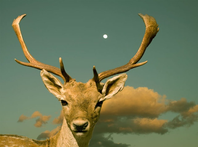 Deer with Antlers under Big Sky - 10x8 inch Art Photograph Signed £12.00