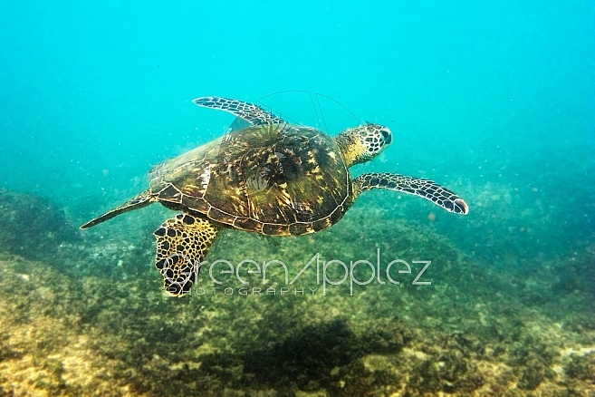 Introducing Eric the Green Sea Turtle Chilling at Napali Point, inMaui Hawaii - F79