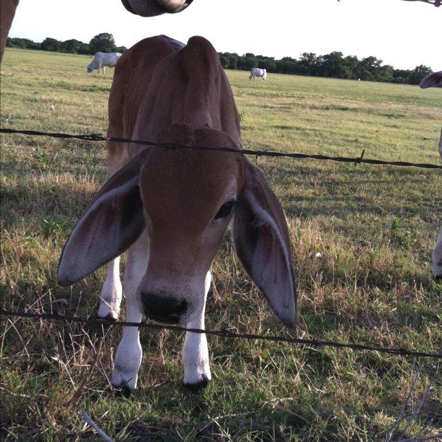 Baby Brahman cow..dumbo ears