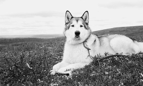 It S A Wolf Dog A Dog That Looks Like A Wolf It S A Pretty New Breed Probably Created By Fantasy Literatu Alaskan Malamute Puppies Wolf Dog Alaskan Malamute