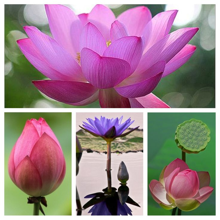 Bali lotus flower (by Anjo Assenberg)