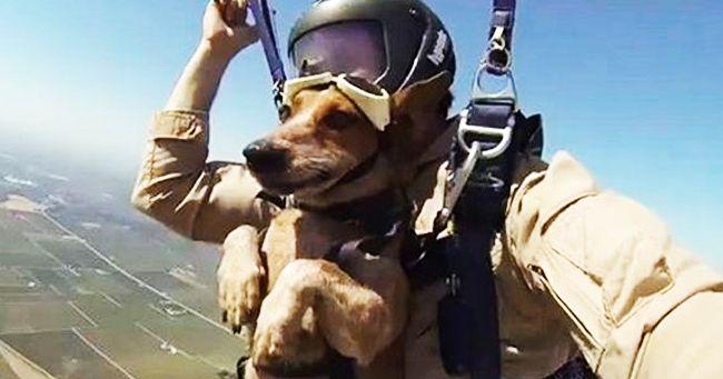 Cane Daredevil fa paracadutismo con il proprietario