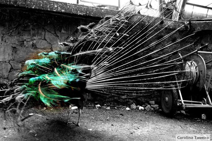A natureza também dança.  #pavão #peacock