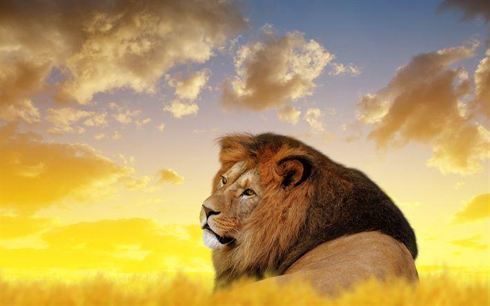 Download wallpapers lion, Africa, wildlife, predator, dangerous animals