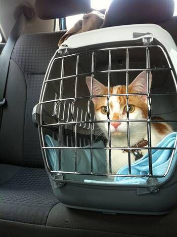 How to travel with your cat in the car Tips & Tricks #katzenworld ねこ cat cats cute 猫 ネコ katze katzen kawaii