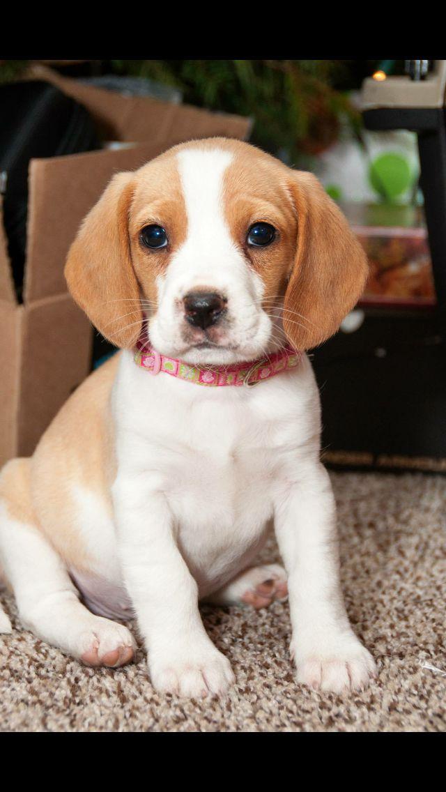 Lemon and white beagle pup