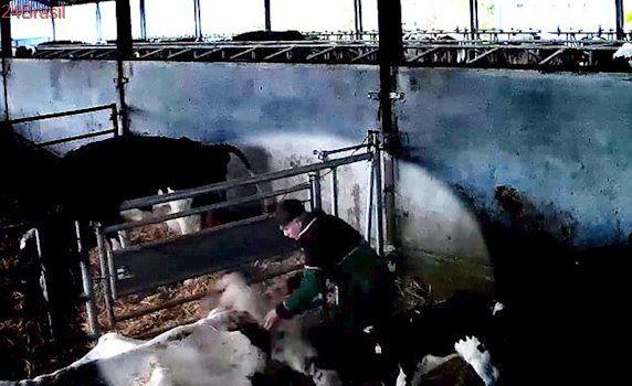 Funcionário de fazenda é condenado à prisão após espancar vacas e bezerros recém-nascidos