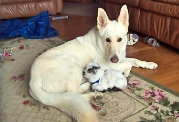 Teneri cuccioli Notizie: Pastore tedesco coccola cucciolo di capra/VIDEO